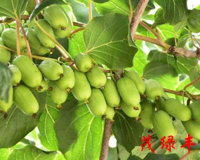 軟棗獼猴桃