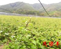 軟棗獼猴桃苗價格