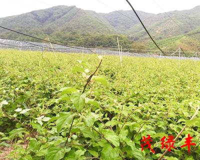 奇異莓苗價格