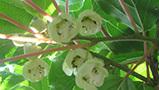 軟棗獼猴桃生產現狀及市場前景