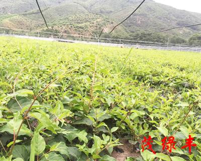 奇異莓苗批發