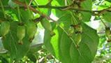 聊一聊軟棗獼猴桃苗木的栽種