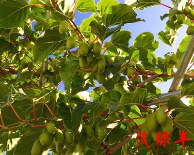 茂綠豐軟棗子