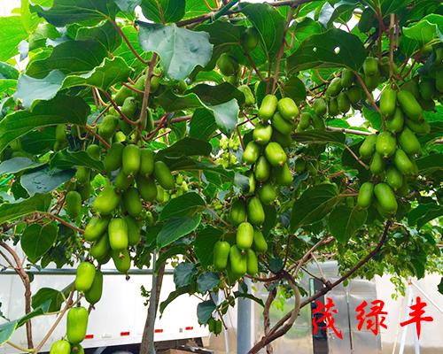 軟棗子鮮果