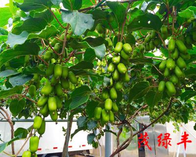 軟棗獼猴桃果實