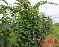 三年軟棗子苗種植