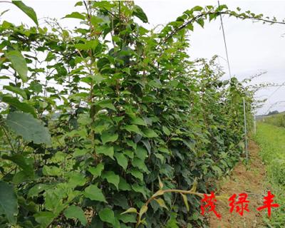 三年奇異莓苗種植