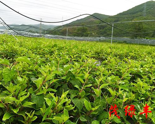 軟棗獼猴桃苗木