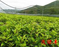 軟棗獼猴桃苗種