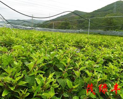 奇異莓苗種