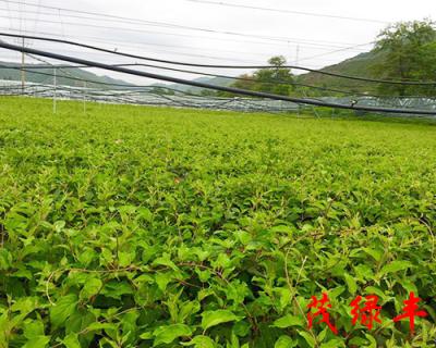 奇異莓苗種植