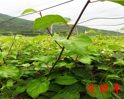 兩年奇異莓苗